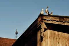 Taube oder Taube auf Dächern Lizenzfreies Stockfoto