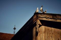 Taube oder Taube auf Dächern Stockfotografie