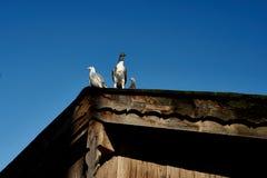 Taube oder Taube auf Dächern Lizenzfreies Stockbild