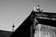 Taube oder Taube auf Dächern Stockbild