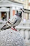 Taube oder eine Taube steht auf Granitblock Stockfotos