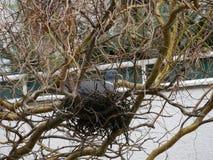 Taube oder Taube, die auf einem Nest sitzen Stockbild