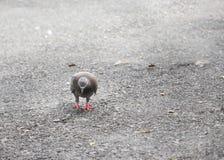 Taube oder Taube, die auf Straße gehen Lizenzfreie Stockbilder