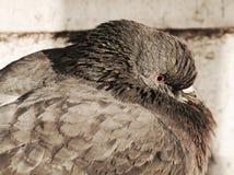 Taube oder Taube in Venedig, Abschluss oben, Porträt Stockfoto
