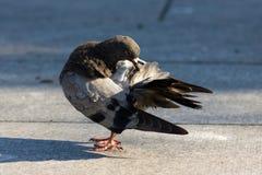 Taube sauber selbst Stockbild