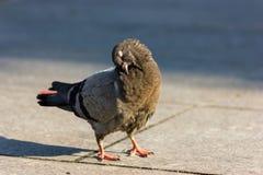 Taube sauber selbst Lizenzfreie Stockfotografie
