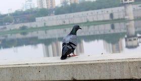 Taube sieht Sabarmati-Flussufer - hinteres Teil der Taube Stockfoto