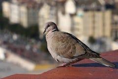Taube, sitzend auf dem Dach Stockfotos