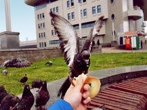 Taube sitzt an Hand und isst Brot, Taube sich duckte in der Hand des Mannes, Flügel, Stadtlandschaft Stockbilder