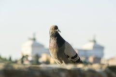 Taube steht gegen den Unschärfe vittoriano Hintergrund Stockfoto