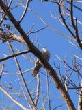 Taube Streptopelia decaocto, das auf bloßem Baumast sitzt Stockbild