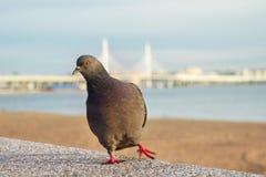 Taube tanzt gegen den Hintergrund des Golfs der Brücke Lizenzfreie Stockfotos