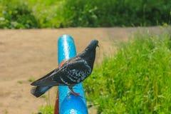 Taube taube Der große Vogel Lizenzfreies Stockfoto