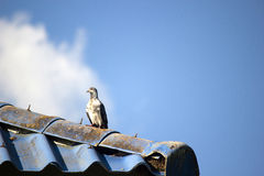 Taube, Taube der Kirche Lizenzfreie Stockfotografie