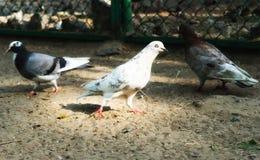 Taube taube Die große Vogelklasse ist, häufig gekennzeichnet als die typischen Tauben lizenzfreies stockbild
