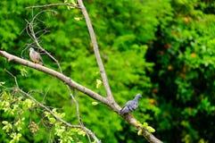 Taube und Taube Stockfoto