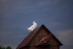 Taube und eine Taube Stockbild