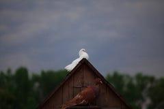 Taube und eine Taube Stockfoto