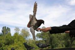 Taube und Hände Lizenzfreies Stockbild