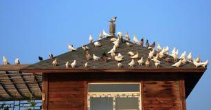 Taube und Haus stockfotos