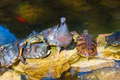 Taube und Schildkröten sitzen im Stein im Park Stockfotografie