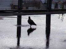 Taube und Wasser Lizenzfreie Stockbilder