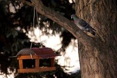 Taube und Zufuhr Stockfoto