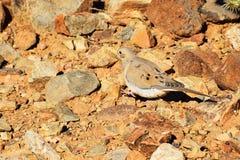 Taube unter Wüsten-Felsen lizenzfreies stockfoto