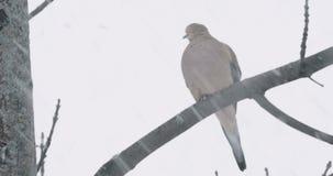 Taube während eines Schneesturms stock video