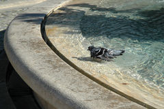 Taube wird auf den Stadtränden des Stadtbrunnens gebadet Lizenzfreie Stockfotos