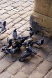 Tauben stockbilder