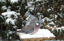 Tauben auf birdtable Stockbilder