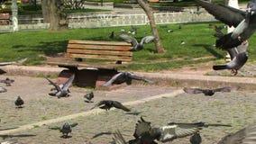 Tauben auf dem Boden in Istanbul-Stadt stock footage