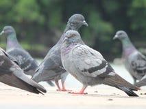 Tauben auf dem Bodengrün Stockfotos