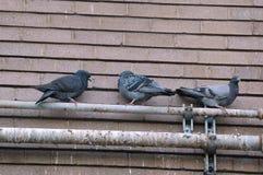 Tauben auf dem Dach Stockfotografie