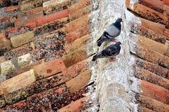 Tauben auf dem Dach Stockfoto