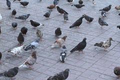 Tauben auf dem Quadrat Lizenzfreies Stockbild