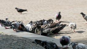 Tauben auf dem Quadrat 4k stock footage