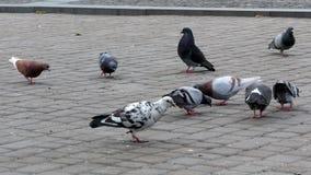 Tauben auf dem Quadrat 4k stock video footage