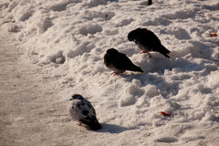 Tauben auf dem Schnee Lizenzfreies Stockfoto