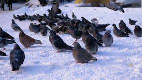 Tauben auf dem Schnee im Winter stock footage