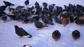 Tauben auf dem Schnee im Winter stock video footage