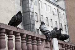 Tauben auf dem Zaun Stockfotos