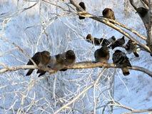 Tauben auf den Niederlassungen im Winter Lizenzfreies Stockbild