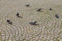 Tauben auf der Fahrbahn Lizenzfreies Stockbild