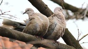 Tauben auf der Niederlassung stock video footage