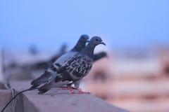 Tauben auf der Wand Lizenzfreies Stockbild