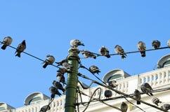 Tauben auf Drähten Stockfotografie