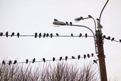 Tauben auf Drähten Stockbilder