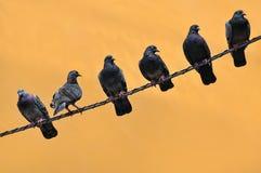 Tauben auf Draht Stockbild